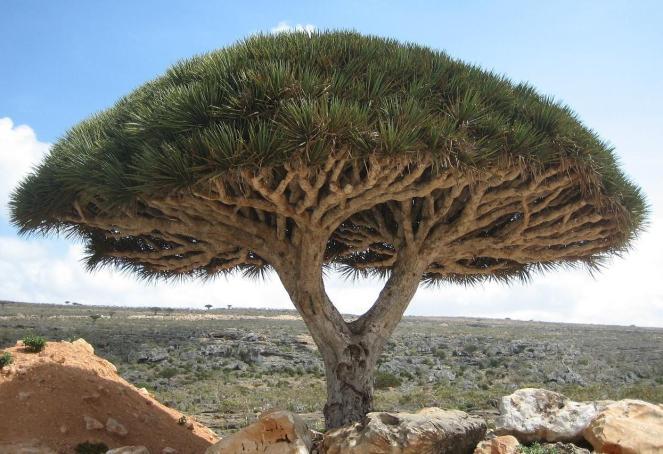 4 Socotra_dragon_tree