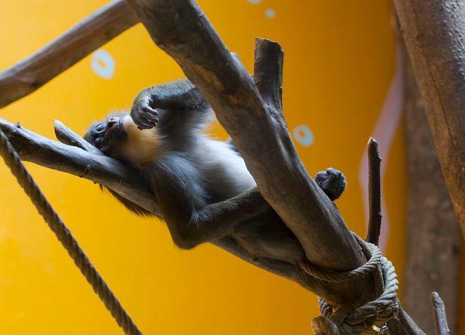 5 Langur_de_cabeza_blanca_(Trachypithecus_poliocephalus),_Tierpark_Hellabrunn,_Múnich,_Alemania,_2012-06-17,_DD_02