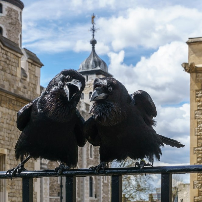 5 ravens